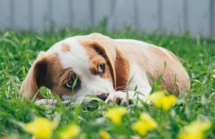 سگ ترسو