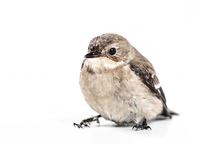 پرنده چاق