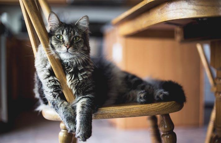 گربه در خانه