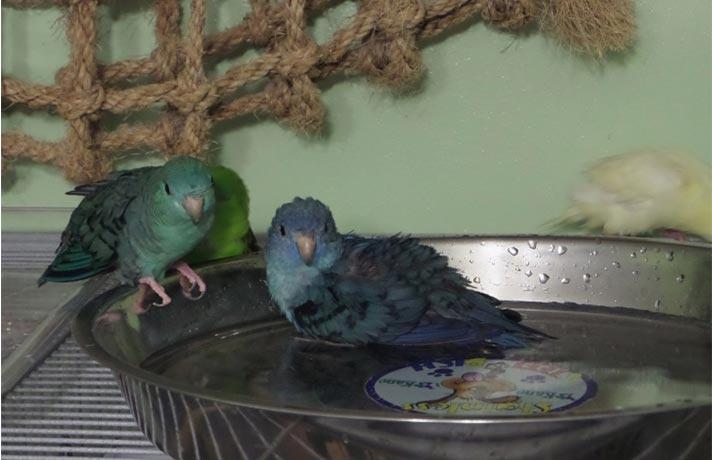 حمام طوطی