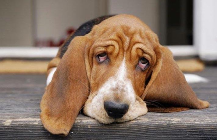 سگ افسرده