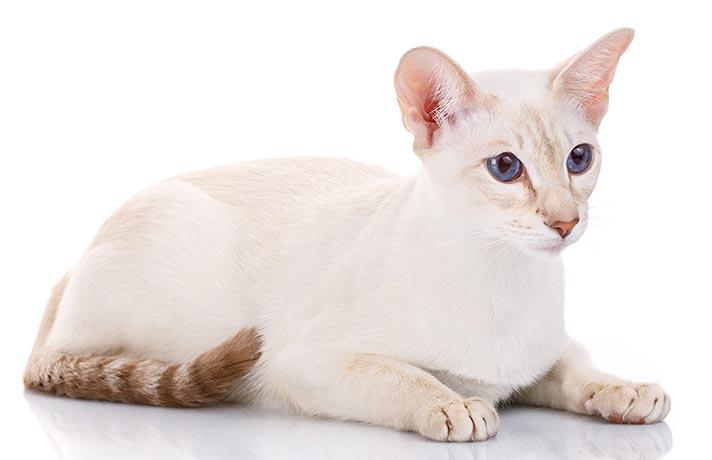 گربه مو کوتاه