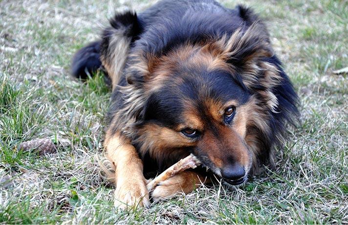 اسخوان خوردن سگ