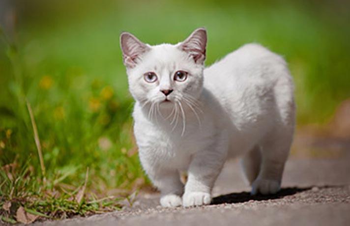 انحراف و بدفرمی مفاصل در گربه