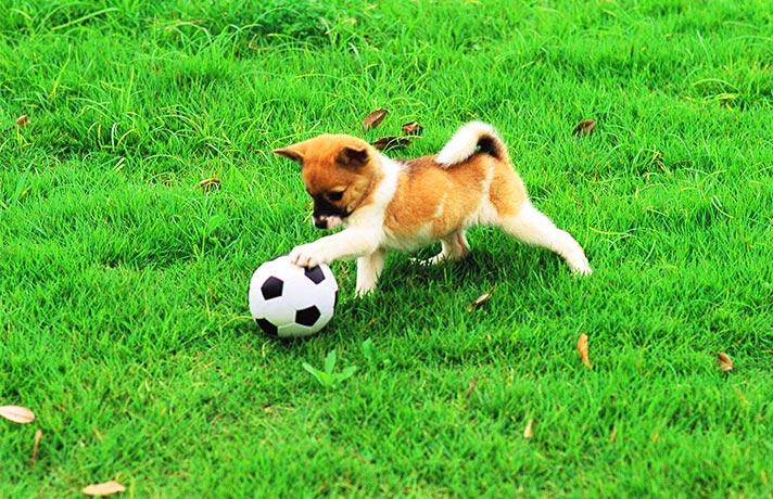 توپ بازی سگ