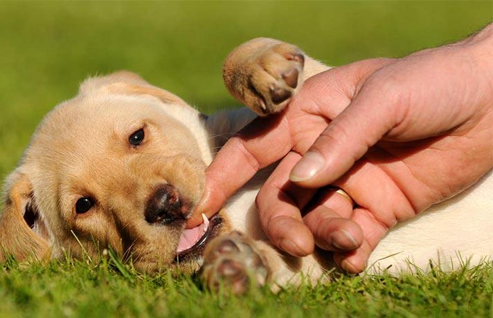 دندان شیری توله سگ
