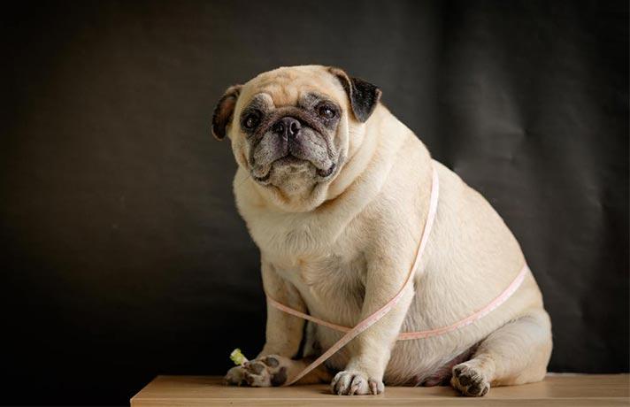 سگ اضافه وزن دارد