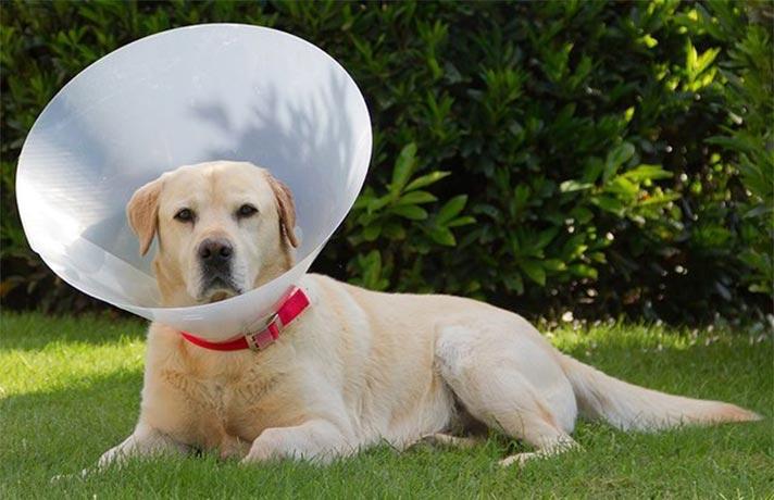 سگ عقیم