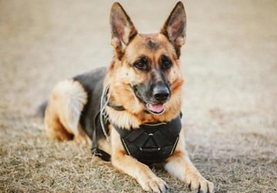 سگ ژرمن