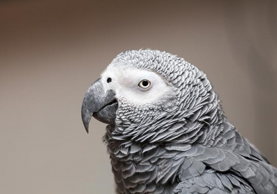 طوطی خاکستری