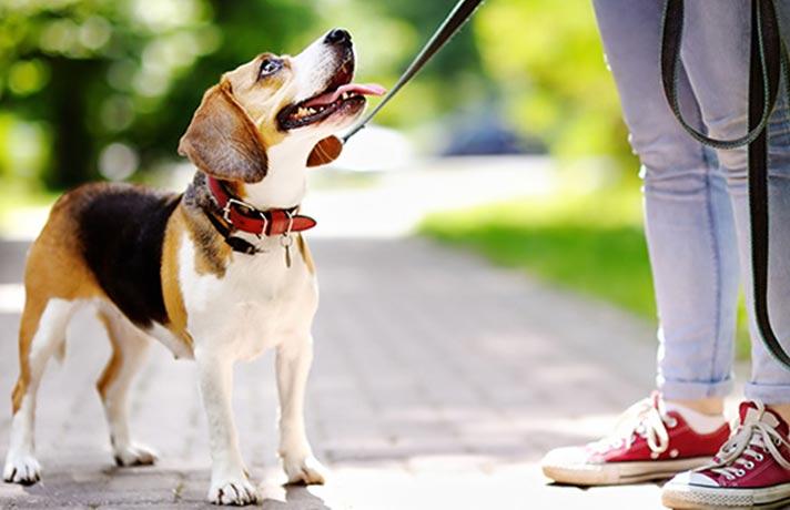 قلاده برای سگ
