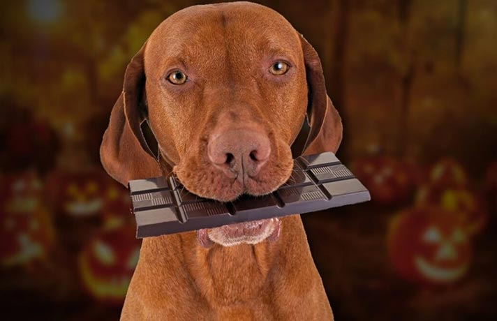 مسمومیت شکلاتی در سگها