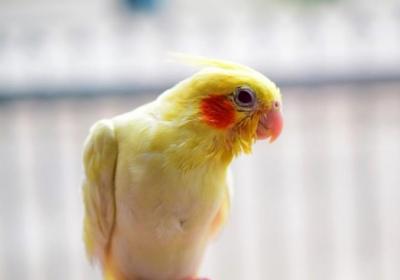 پرنده با بیماری مایکوپلاسما
