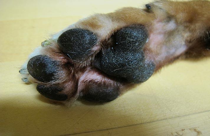 پنجه سگ
