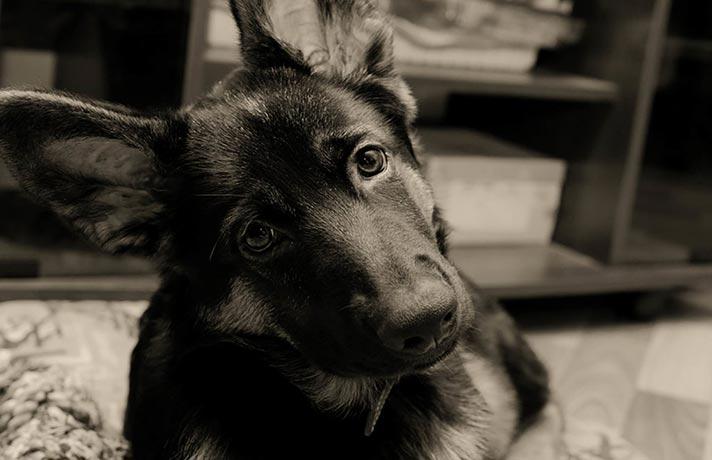 کج کردن سر سگ
