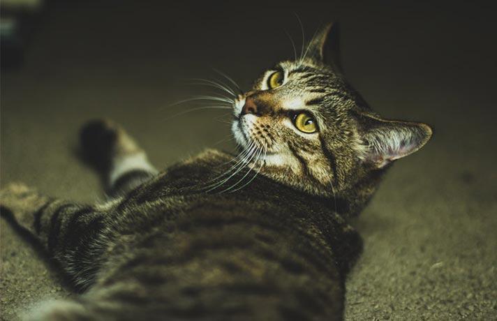 گربه اسپری