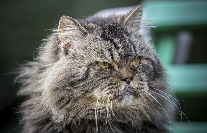 گربه پیر