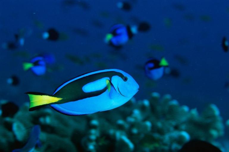 aquarium-fish-cyanide-nationalgeographic_972735.ngsversion.1528212610051.adapt.1900.1