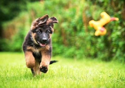 German-Shepherd-Puppy-Fetch