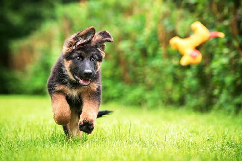 German-Shepherd-Puppy-Fetch