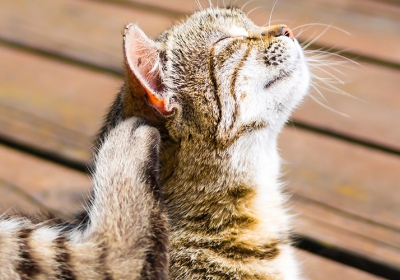 Lice-in-Cats-Symptoms-Causes-and-Treatment