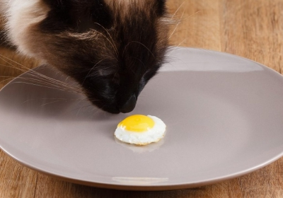 can-cats-eat-eggs-1-1280x720